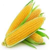 甜玉米 制造商